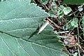 Satin grass-veneer (NH) (7856325114).jpg