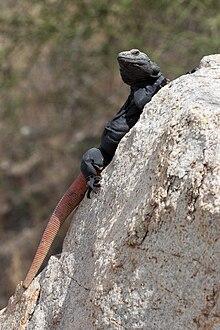 Sauromalus ater - Wikipedia