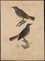Saxicola rufocinerea - 1835 - Print - Iconographia Zoologica - Special Collections University of Amsterdam - UBA01 IZ16200302.tif