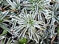 Saxifraga paniculata 'Carniolica' 2.JPG