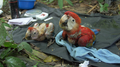 Scarlet Macaw chicks.png