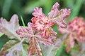 Schiermonnikoog - Spaanse aak (Acer campestre).jpg