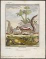 Sciurus palmarum - 1700-1880 - Print - Iconographia Zoologica - Special Collections University of Amsterdam - UBA01 IZ20400071.tif