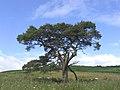 Scots Pine - geograph.org.uk - 214917.jpg