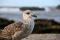 Sea Bird (4263501144).jpg