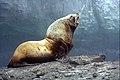 Sea Lion 2 (6383863097).jpg