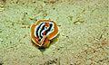 Sea Slug (Chromodoris magnifica) (6085151689).jpg