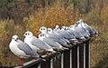 Seagulls 2 (4090132678).jpg