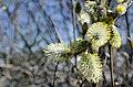 Selje med pollenbærere (7).jpg