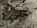 Semioscopis oculella (26985931818).jpg