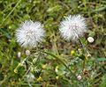 Senecio vulgaris2.jpg