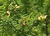 Senna polyphylla, Desert Senna at Secunderabad, AP W IMG 6655