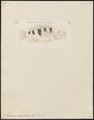 Serranus oceanicus - 1798-1876 - Print - Iconographia Zoologica - Special Collections University of Amsterdam - UBA01 IZ12900170.tif