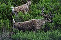 Shaggy-coated caribou in Denali, shedding their winter coats. (4ca1b4d9-391a-426a-8d8b-df7a3c75f1f6).jpg