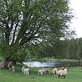 Sheep, Trees and Pool, near Claverley, Shropshire - geograph.org.uk - 407251.jpg