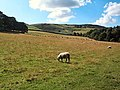 Sheep below Barks Crag - geograph.org.uk - 42635.jpg