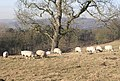 Sheep may safely graze^ - Apperley Lane - geograph.org.uk - 687591.jpg