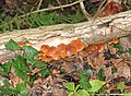 Shiny fungus near Kempley Brook - geograph.org.uk - 664013.jpg