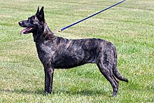 Short-haired Dutch Shepherd©CaroleField.jpg