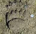 Signs of Grizzly Bear (Ursus arctos) (19433372020).jpg