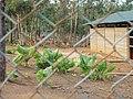 Sika deers behind the fences in Lyudao 2008.jpg