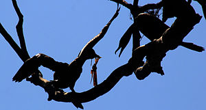 Silhouettes of two Double-crested Cormorants
