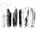 Sinanthropus Femora V and VI.png