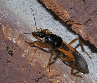<i>Sirthenea</i> genus of insects