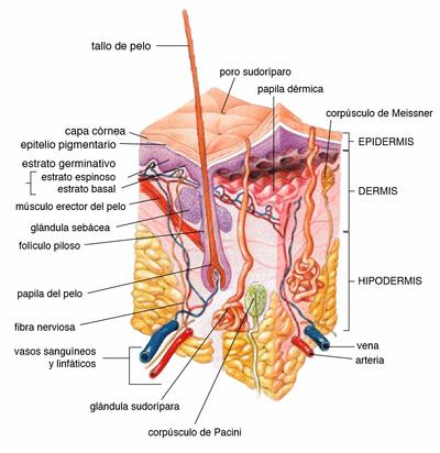 Fisiología humana/Sistema tegumentario - Wikilibros