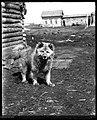 Sled dog at Tungus (evenki) camp, Siberia, 1901.jpg