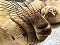 Sleeping northern elephant seal pups (44271725692).jpg