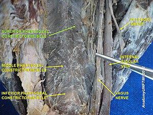 Superior pharyngeal constrictor muscle - Image: Slide 3iiii