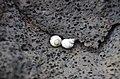 Snails on lava rocks (a0004888) - panoramio.jpg