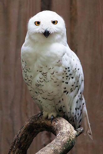 Arctic - A snowy owl