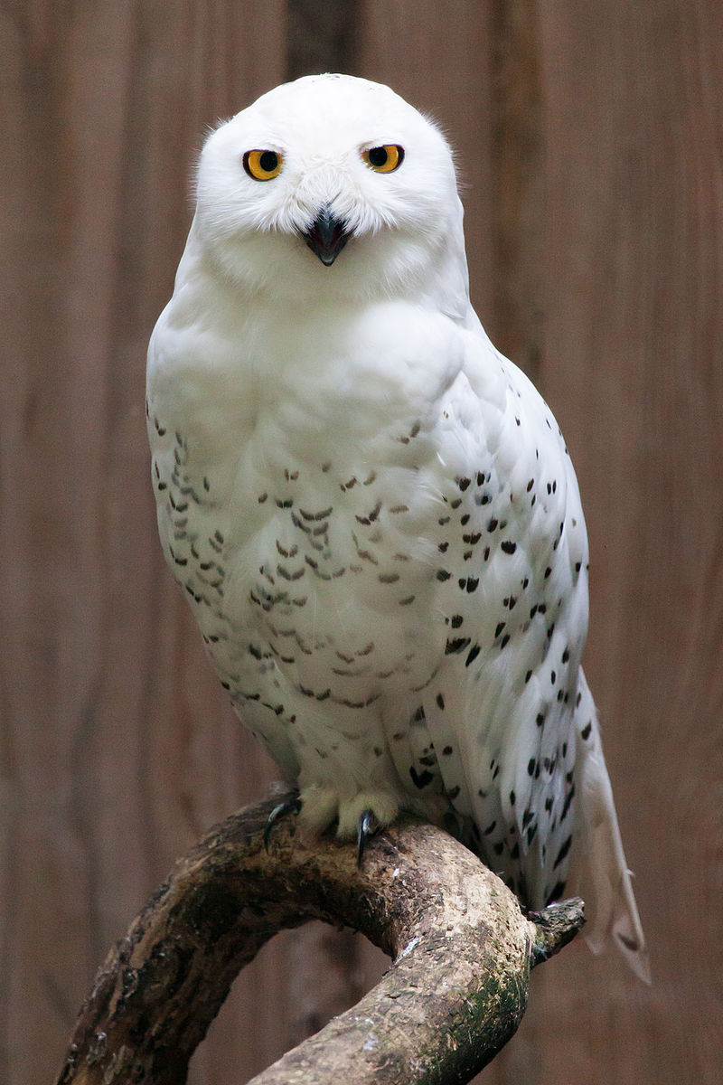Snowy Owl Portrait.jpg