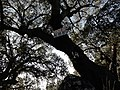 Sobreiro (Quercus suber) (27933585849).jpg