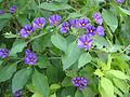 Solanum-Jerusalem.jpg