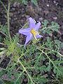 Solanum citrullifolium flower2.jpg