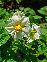 Solanum tuberosum 002.JPG