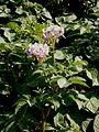 Solanum tuberosum RHu002.jpg