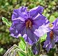 Solanum wallacei 3.jpg