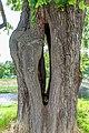 Sommerlinde (Tilia platyphyllos) jm65071.jpg