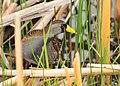 Sora on Seedskadee National Wildlife Refuge (26477152063).jpg