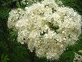 Sorbus aucuparia - flower.JPG