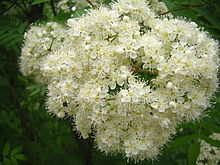 Sorbus aucuparia - flower.JPG