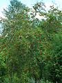 Sorbus sibirica ÖBG 09-07-16 06.jpg