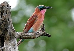Southern Carmine Bee-eater (Merops nubicoides) juvenile (15890400783) (cropped).jpg