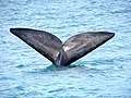 Southern Right Whale, Hermanus (South Africa).jpg