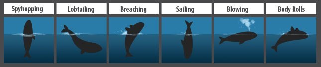 Southern Right Whale Behavior