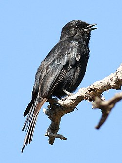 Southern black flycatcher, Melaenornis pammelaina, at Marakele National Park, Limpopo, South Africa (16395673171).jpg